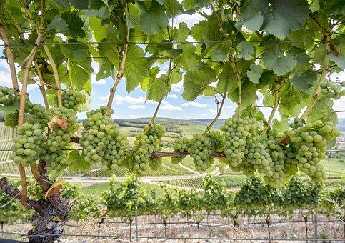 Wine, Grapes, Vine, Fruit, Green, Plant, Sweet