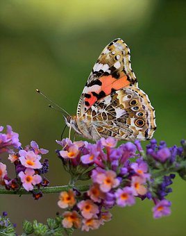 Butterfly, Insect, Nature, Macro, Wings, Wing, Summer