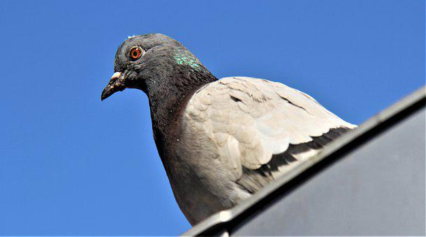 Pigeon, Bird, Wings, Feather, Fly, Nature