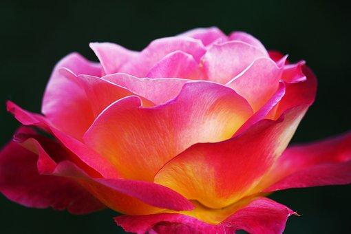 Rose, Yellow Rose, Beauty, Flower, Yellow, Blossom