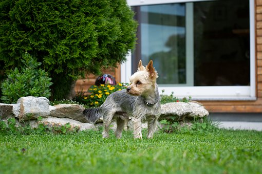 Dog, Yorki, Yorkshire Terrier, Small, Small Dog, Out