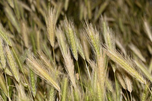 Wheats, Cereals, Agriculture, Grain, Power, Food