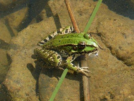 Green Frog, Batrachian, Amphibious, Pond, Croak