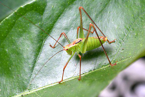 Insect, Grillo, Nature, Green, Salta, Animal