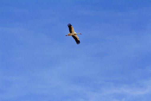 Stork, Fly, Freedom, Nature, Bird, Animal, Ala, Flight