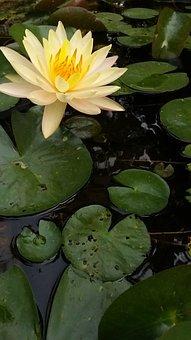 Lotus, Flowers Outdoor, Beauty