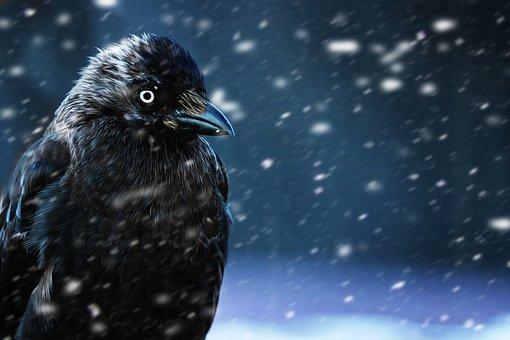 Raven, Crow, Bird, Black, Animal, Bill, Night, Winter