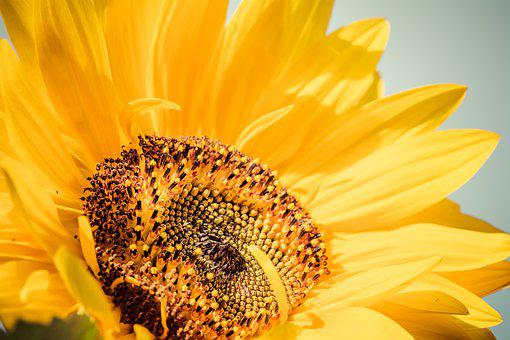 Sunflower, Yellow, Sun, Flower, Summer, Luck, Bloom