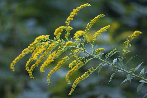 Solidago Canadensis, Flower, Yellow, Nature, Bloom