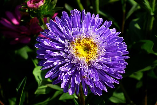 Aster, Flower, Blue, Blooming, The Petals, Closeup