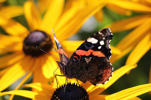 Butterfly, Animal, Bug, Nature, Flowers, Garden, Flora