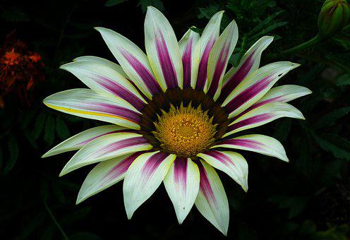 Gazania, Flower, Colored, Nature, Garden, Summer
