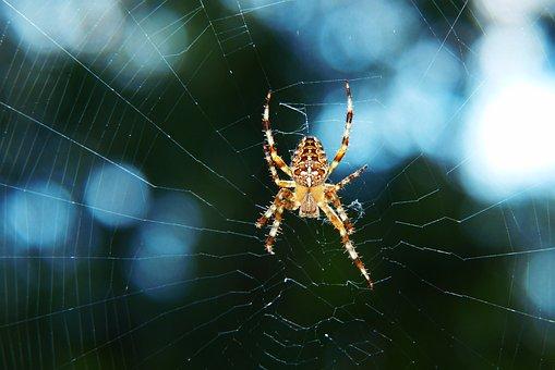 Crusader Garden, Female, Spider, Scary, Hairy, Cobweb