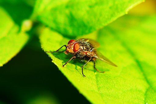 ścierwica Mięsówka, Muchówka, Eye, Antennae, Insect
