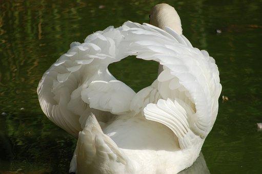 Swan, Birds, Waterfowl, Feathers, Plumage, Elegant