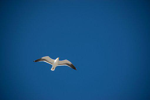 Flight, Freedom, Sky, Ave, Nature, Seagull, Air, Wings