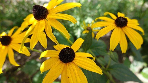 Rudbeckia, Yellow, Bloom, Flower, Nature, Flora