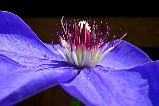 Clematis, Creeper, Blue, Flower, Closeup, Blooming