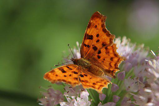 Butterfly, Tabby, Color Orange, Flying Insects, Flower