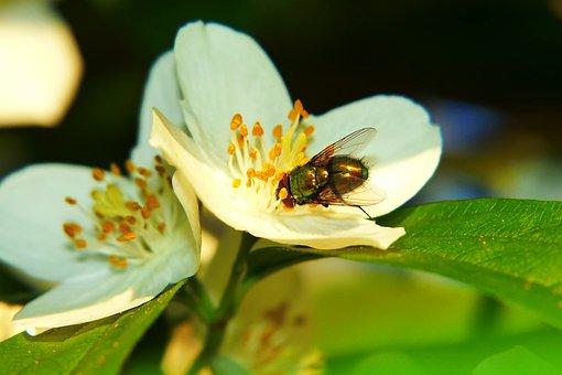 Padlinówka Imperial, Muchówka, Wings, Flower, Posts