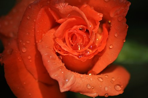 Rose, Orange, Flower, Live, Nature, Drops, Rosa, Macro