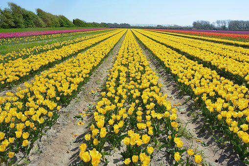 Flowers, Flowers Tulips, Fields Of Flower