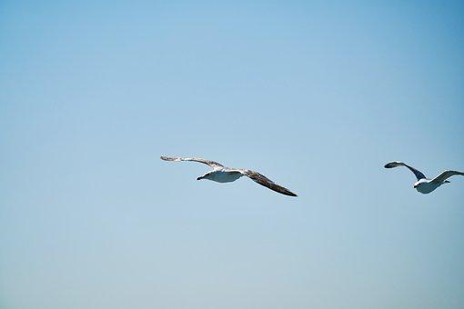 Seagull, Bird, Fly, Freedom, Animal