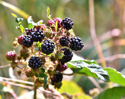 Blackberries, Fruits, Fruits Of The Forest, Nature