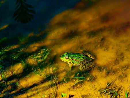 Frog, Mare, Water, Green, Marsh, Pond, Toad, Amphibians