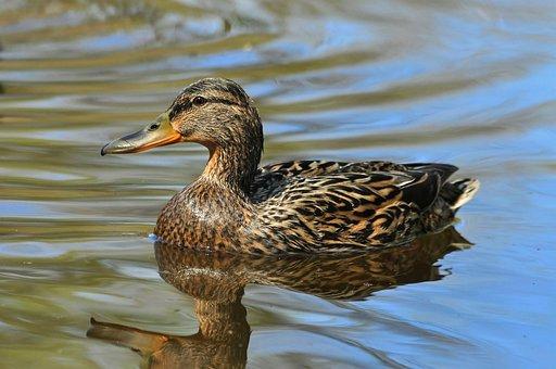 Duck, Water, Reflection, Blue, Grey, Bird, Mallard
