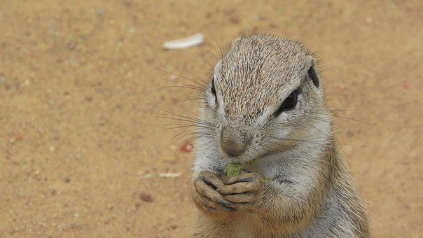Ground Squirrel, The African Squirrels, African Rodents