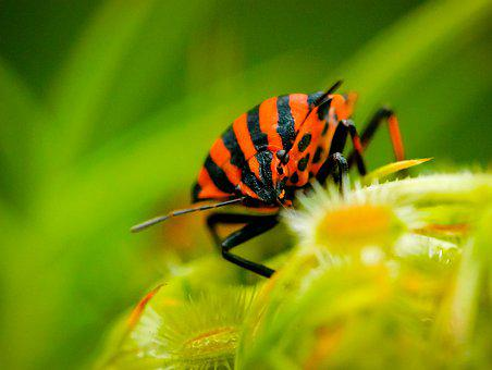 Bug, Harlequin, Insects, Nature, Plants, Stripes