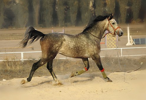 Horse, Running, Korda, Lynx, Stallion, Gallop, Training