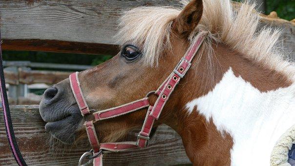 Pony, The Horse, Horses, The Mane, Horse, Stallion