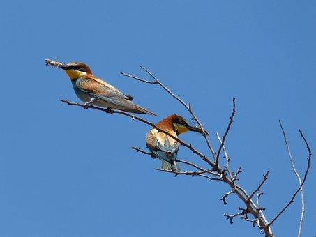 Merops Apiaster, Bee-eater, Bee Eaters, Hunt, Abellerol