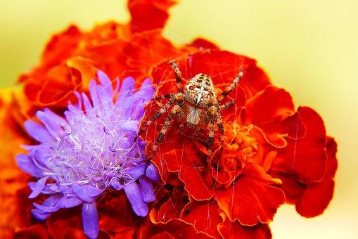 Crusader Garden, Spider, Spider's Web, Flowers, Hunter