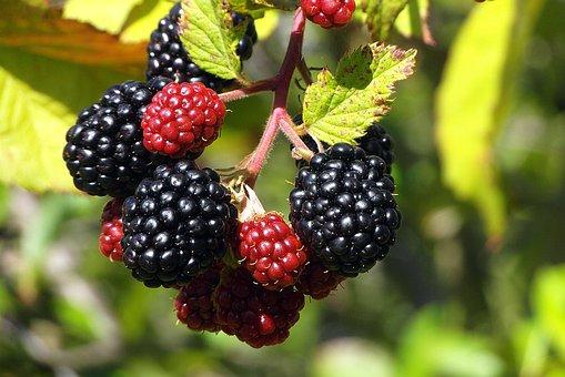 Blackberry, Fruit, Ripening, Berries, Immature, Garden