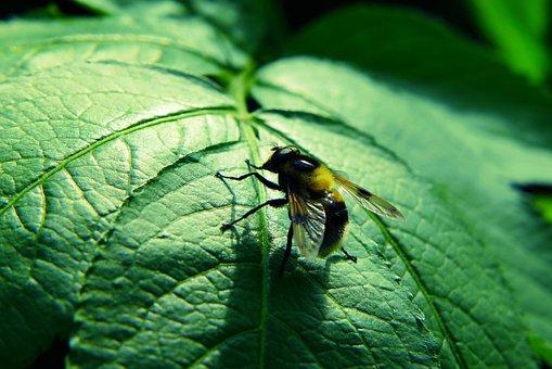 Trzmielówka, Muchówka, Insect, Leaf, Forest, Antennae