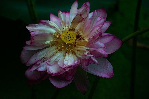 Lotus, Water Lotus, Flower, Pond, Pink, Nature, Blossom