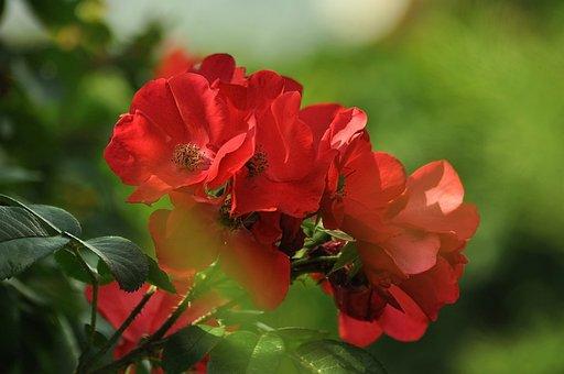 Rose, Flower, Bush, Garden, Red, Green, Love, Beauty
