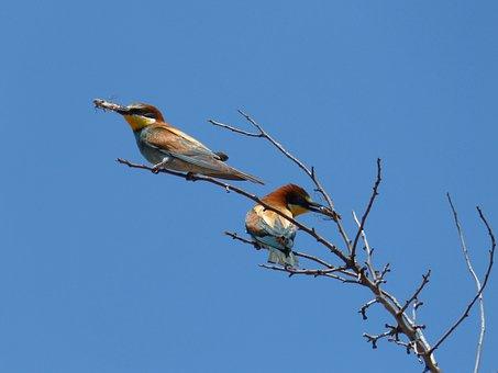 Bee-eater, Abellerol, Merops Apiaster, Cicada