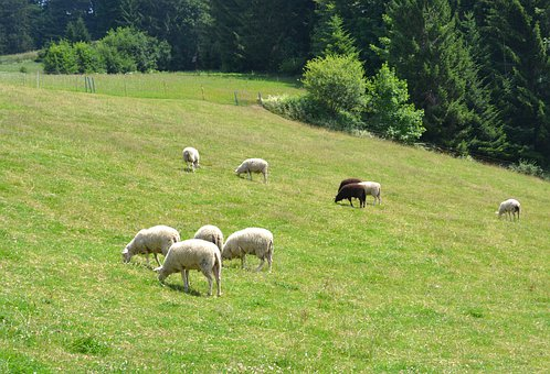 Sheep, Dairy Sheep, Alm, Mountain Farm, Farm, Meadow