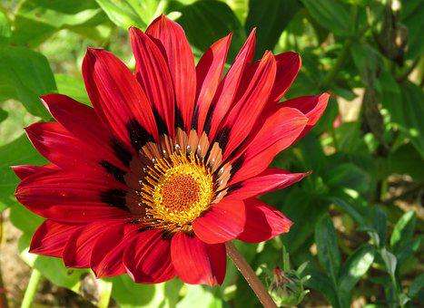 A Gazania, Flower, Bright, Colorful, Nature, Bloom, Red