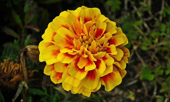 Marigold, Flower, Colored, Summer, Nature, Garden