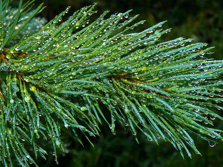 Needles, Needle, Pine, Drops Of Water, Evergreen, Rain