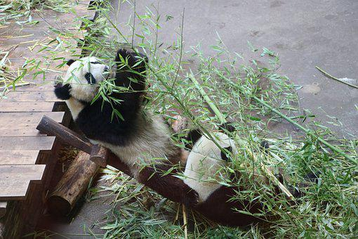 Panda, Animal, Wild, Baby, Bamboo, Asia, Nature, Fur