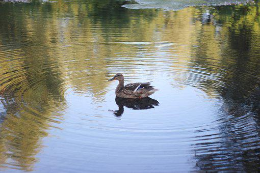 Duck, Lake, Water, River, Reflection, Nature, Park