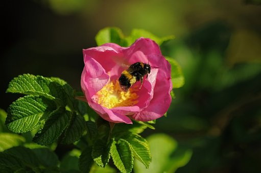 Bumblebee, Flower, Pink, Rose, Leaves, Green