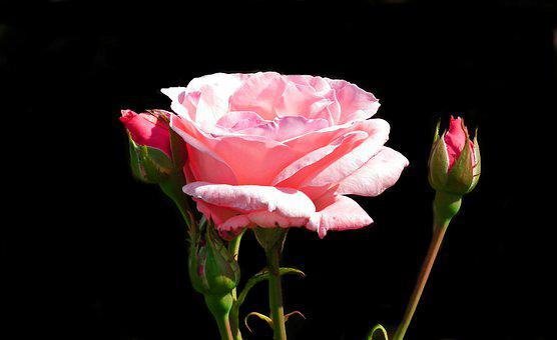 Rose, Flower, Pink, Romantic, Beauty, Love, Garden