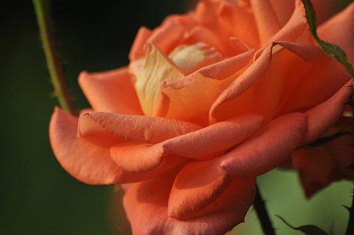 Rose, Pink, Live, Bush, Garden, Macro, Summer, Sunny